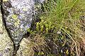 Tatry – Widłak wroniec (Huperzia selago).jpg