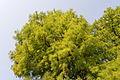 Taxodium distichum-IMG 8662.jpg