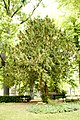 Taxus-baccata 12-18-B WLE2020 Denis-Apel 6.jpg