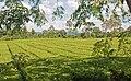 Tea plantation, Misiones, Argentina, 5th. Jan. 2011 - Flickr - PhillipC.jpg