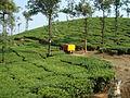 Tea plantation 2.jpg