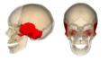 Temporal bone.png