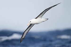 Black-browed albatross - East of Tasmania, Southern Ocean