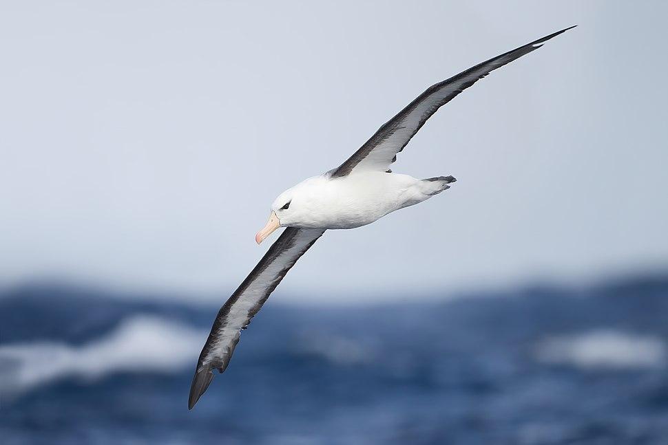 Thalassarche melanophrys in flight 2 - SE Tasmania