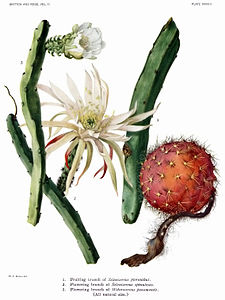 The Cactaceae Vol II, plate XXXVIII filtered.jpg