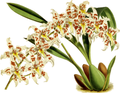 The Orchid Album-01-0107-0035-Odontoglossum andersonianum-crop.png
