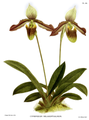 The Orchid Album-03-0042-0109-Cypripedium melanopthalmum.png