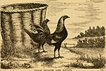 The book of the bantams - a brief treatise upon the mating, rearing and management of the different varieties of bantams (1886) (19773323804).jpg