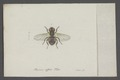 Thereva - Print - Iconographia Zoologica - Special Collections University of Amsterdam - UBAINV0274 038 08 0002.tif