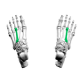 Third metatarsal bone03 superior view.png