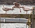 Three Gulls (33860421796).jpg