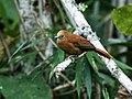 Thripophaga berlepschi - Russet-mantled Softtail.jpg