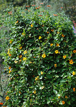 Description de l'image Thunbergia alata - plant (aka).jpg.