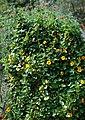 Thunbergia alata - plant (aka).jpg