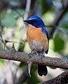 Tickell's Blue Flycatcher Cyornis tickelliae by Dr. Raju Kasambe DSCN9986 (2).jpg