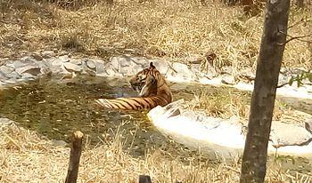 Tiger A Hope.jpg