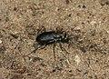 Tiger beetle (1038676130).jpg