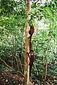 Tikal Coatimundi (9791253256).jpg
