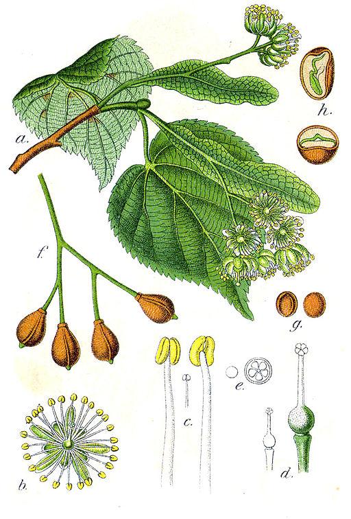 planche botanique du tilleul
