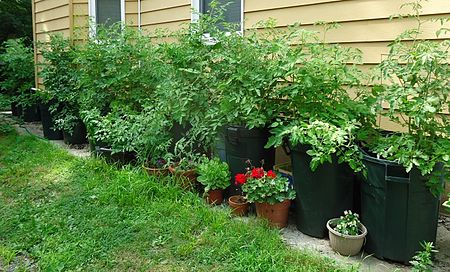 Tomato plants growing in a pot farming alongside a small house in New Jersey in fifteen garbage cans filled with soil, grew over 700 tomatoes during the summer of 2013. Tomato plants growing July 2013 in garbage cans.JPG