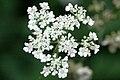 Torilis.japonica.-.lindsey.jpg