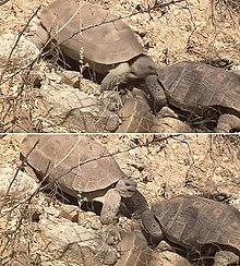 Two frames from a film showing desert tortoises fighting