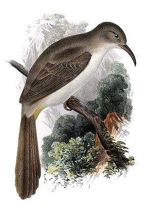 LeConte's thrasher - Toxostoma lecontei