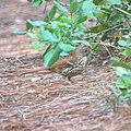Toxostoma rufum Dauphin Island AL.jpg