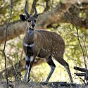 A bushbuck appearing flat sided through countershading