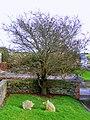 Tree, Ballycopeland Windmill - geograph.org.uk - 702874.jpg