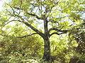 TreeOldAilanthus027.jpg