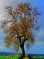 Tree (2462133624).jpg