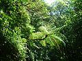 Tree Fern - Flickr - S. Rae.jpg