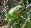 Tree Frog. Hylea arborea - Flickr - gailhampshire (1).jpg
