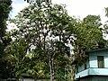 Tree at Brownsberg.JPG