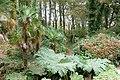 Tree ferns and gunnera in the woodland, Tregenna Estate - geograph.org.uk - 1551883.jpg