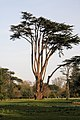 Tree in Ickworth Park - geograph.org.uk - 1220354.jpg