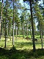 Trees in Kielder Forest - geograph.org.uk - 203733.jpg