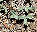 Trifolium gymnocarpon var plummerae 5.jpg