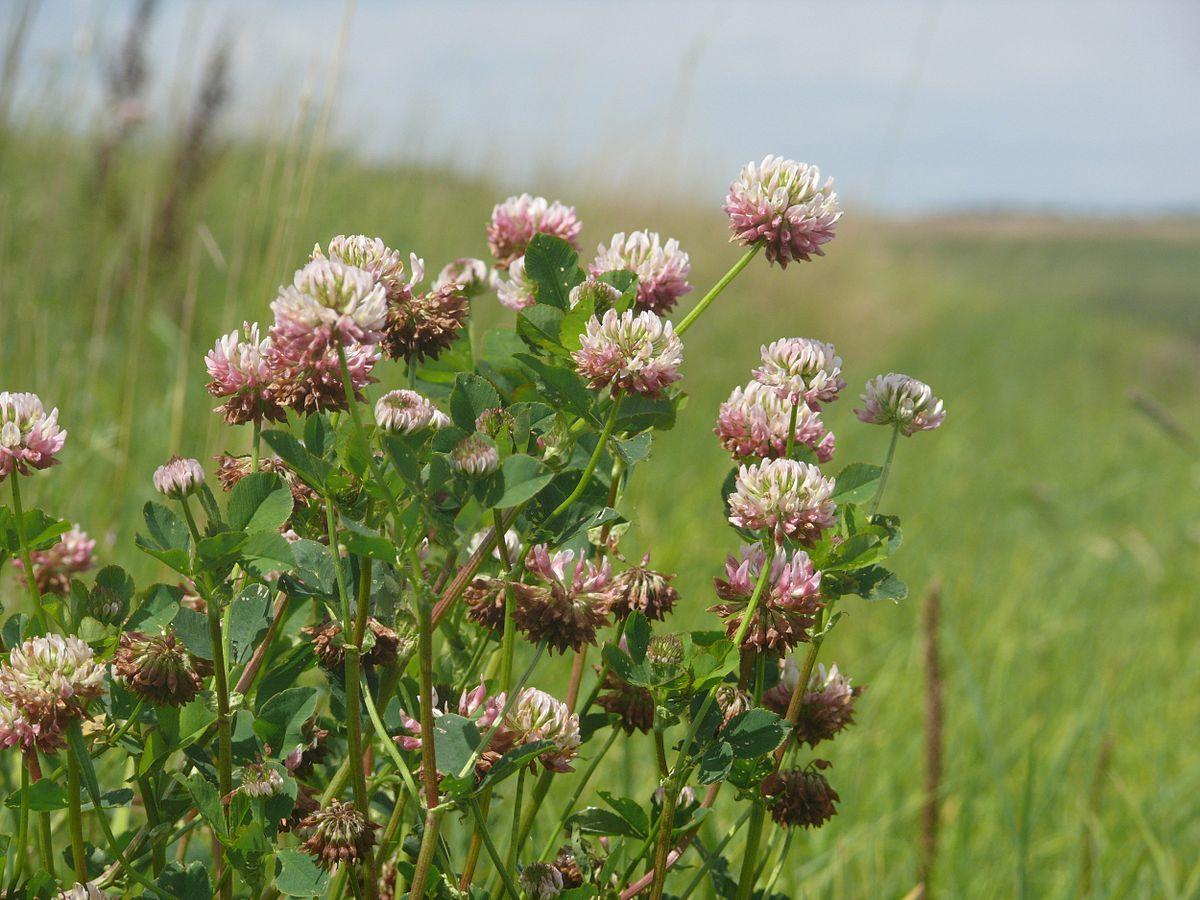 Trifolium hybridum - Alsike Clover -- Discover Life