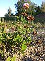 Trifolium hybridum subsp. hybridum sl11.jpg