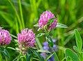 Trifolium pratense in Aveyron (2).jpg