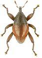 Trigonopterus wamenaensis holotype - ZooKeys-280-001-g099.jpg