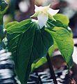 Trillium tschonoskii.jpg