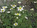 Tripleurospermum inodorum RH (23).jpg
