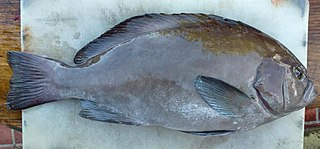 Oval grouper Species of fish