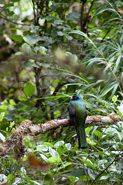 Trogon personatus -Peru -male-8.jpg