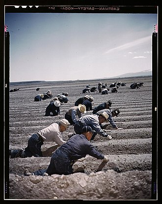Tule Lake Unit, World War II Valor in the Pacific National Monument - Inmates transplanting celery at Tule Lake.