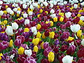 Tulipa cultivars Amsterdam.jpg