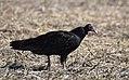 Turkey Vulture stalks, catches and eats live garter snake (30570941635).jpg